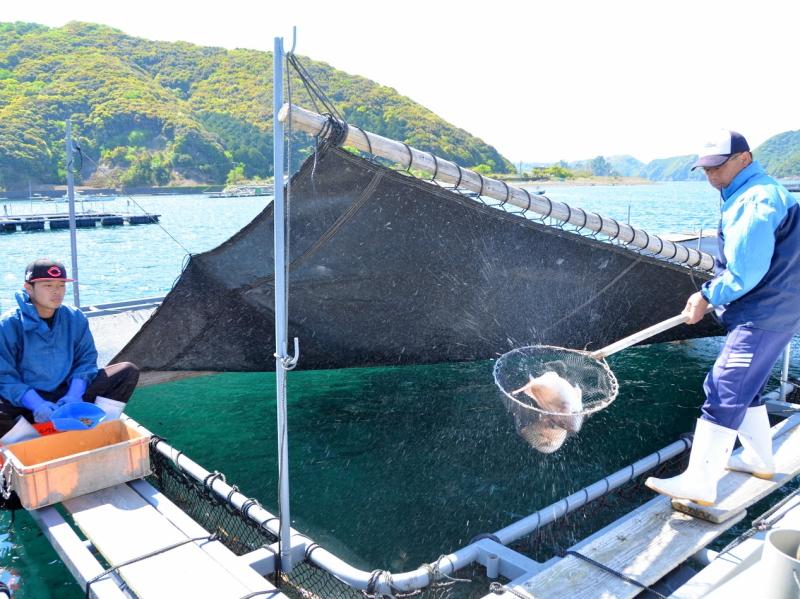 当館自慢の、この活きの良い真鯛を見てください。